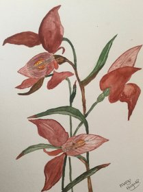 "Margaret Hagues: ""Disa Uniflora"""